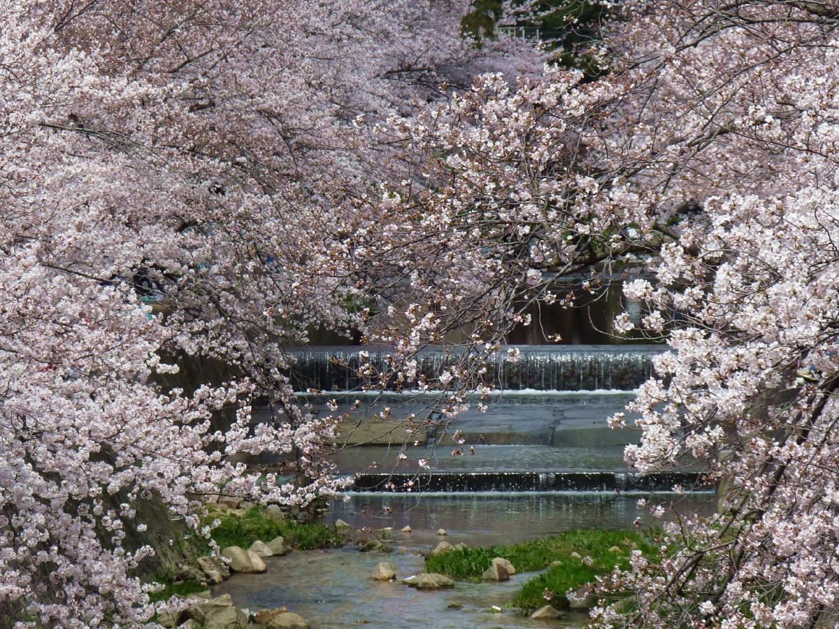 夙川公園桜